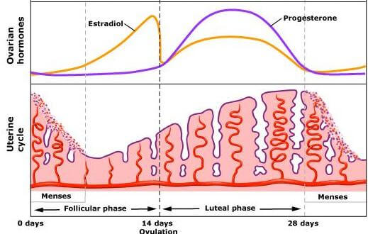 Female Menstrual Cycle Hormones