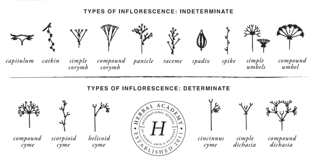 Describing plants in Herbal Materia Medica - Types of Inflorescence